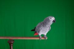 Parrot-show-Kasper-Jensen-2020-77