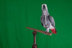 Parrot-show-Kasper-Jensen-2020-81